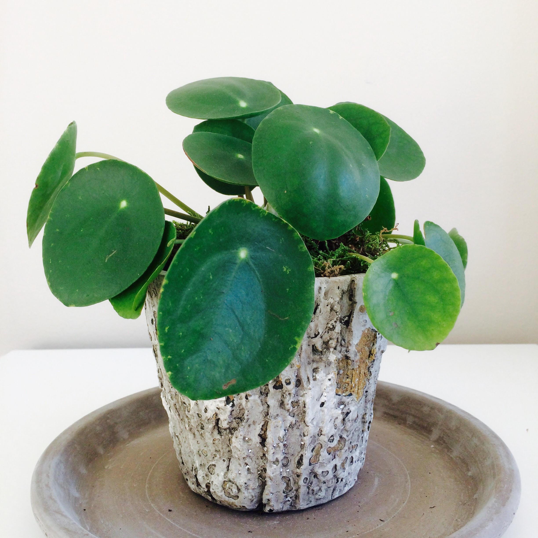 Pilea peperomioides (Pannenkoekenplant) verzorgen en stekken