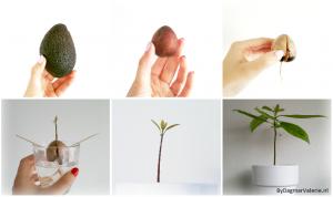DIY – Zelf een avocadoboompje kweken