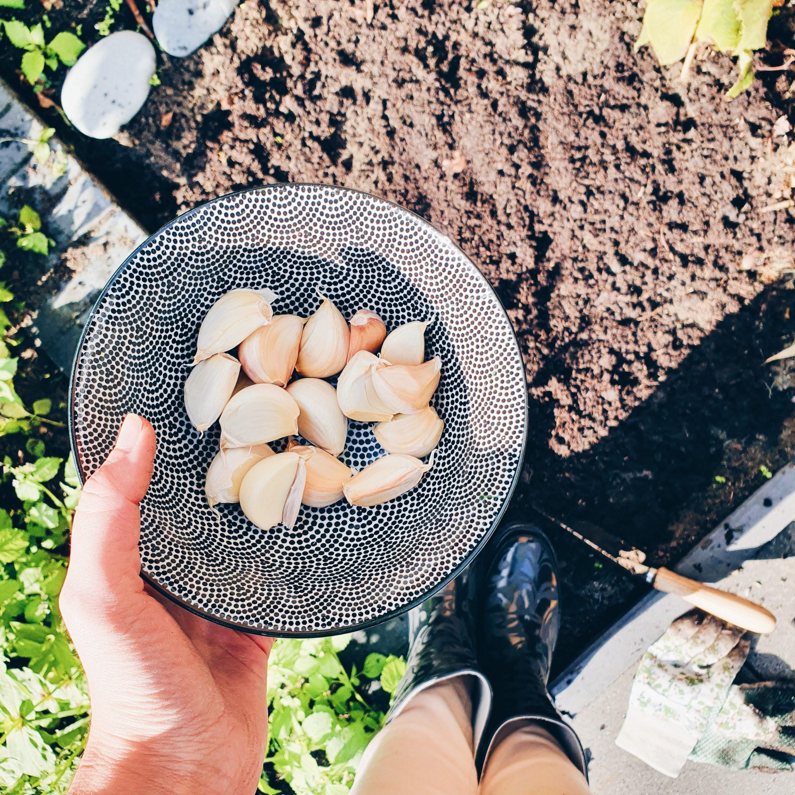 Zelf knoflook kweken en planten in de tuin